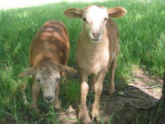 Loretto, Canada : Katahdin lambs