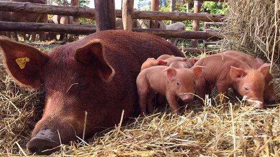 Loretto, Canada : Tamworth pigs