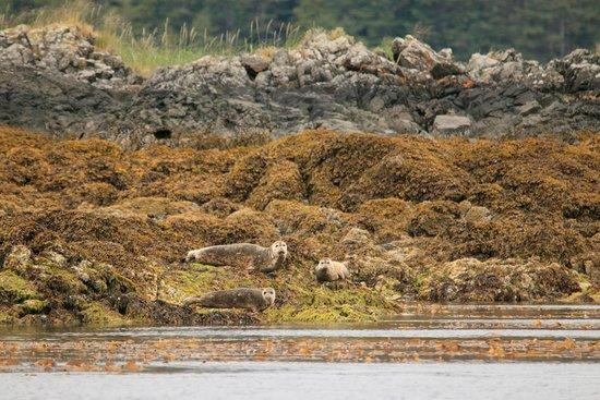 Craig, AK: Harbor Seals hauled on a rock