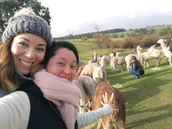Darnum, Australien: Alpacas