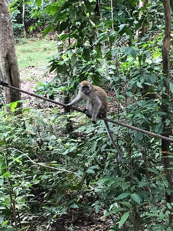 Gunung Lambak: Macaques resting on a rope