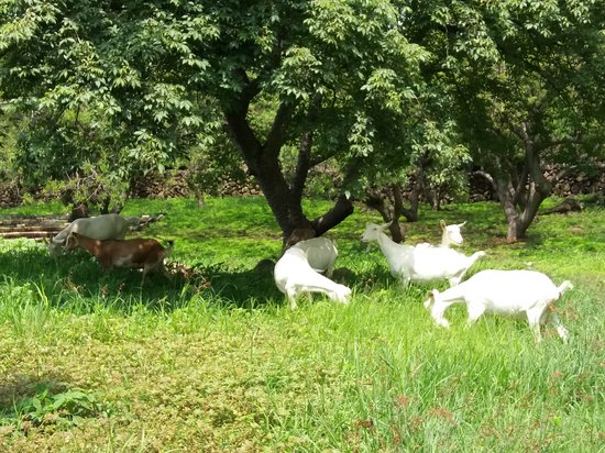 Goats grazing in the field - Picture of Galo de Allende, Mezcala