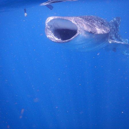 Whale Shark Snorkeling- MUST DO!!!!