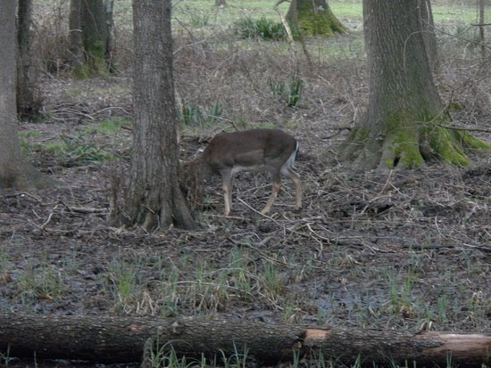 Parco Regionale Migliarino San Rossore Massaciuccoli: Famigliole di cervi