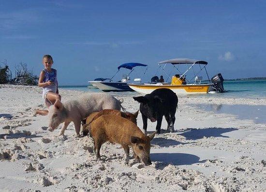 Long Island's swimming pigs