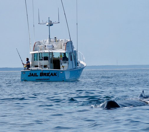 Harwich Port, MA: A humpback whale swims past the Jail Break as we fish for stripers and blues.