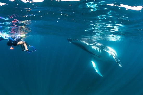 Ningaloo Humpback Whale Swim on a ...