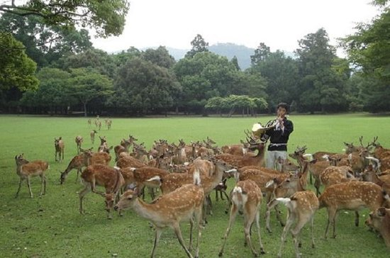 Deer Gathering at Nara Park