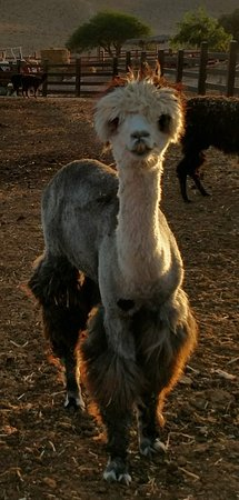 Alpaca Farm: Loved the access to the animals!