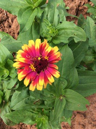 William L Brown Farm Market: you pick zinnias