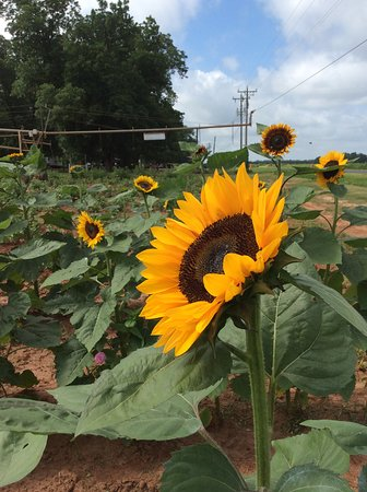 William L Brown Farm Market: you pick sunflowers