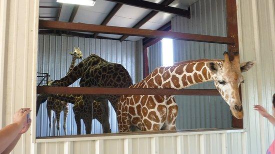 Franklin, TX: very friendly giraffes!