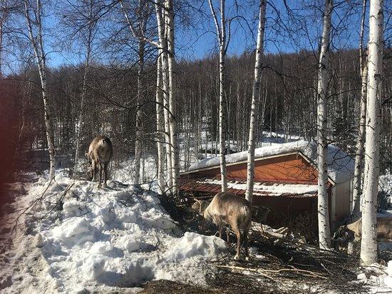 驯鹿牧场照片