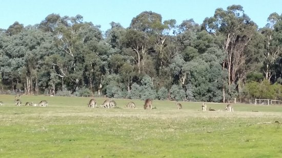 Pound Bend: kangaroos in the field
