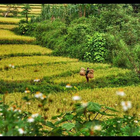 Lao Cai Province, Vietnam: Rice season