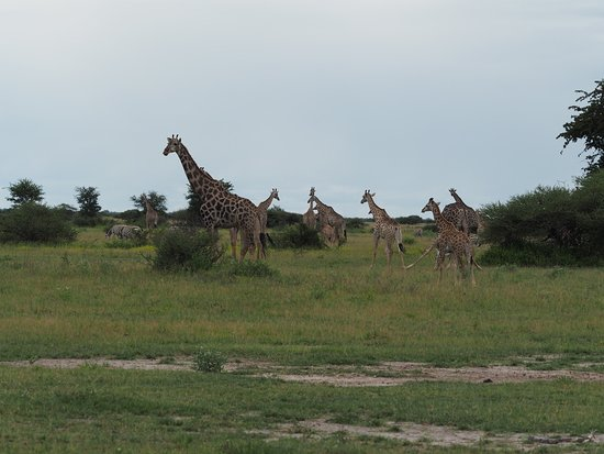 Nxai Pan National Park, Botswana: Girafe group