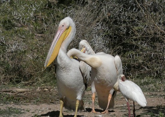 Kalkfeld, Namibia: Pelicans resting on the banks of the lake.