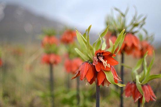 Khansar, Ιράν: Fritillaria