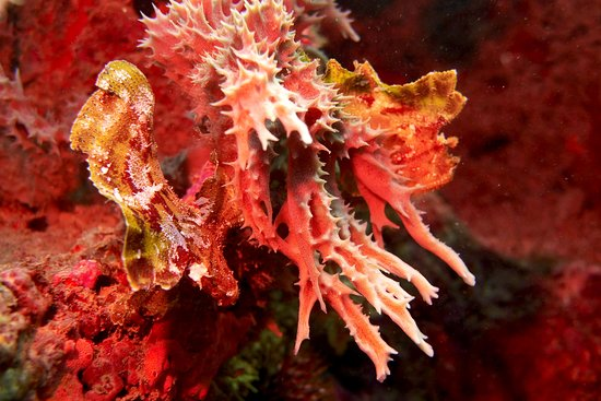 FUN DIVERS ZANZIBAR – Red leaf scorpionfish in camouflage on a soft coral at Shane´s reef