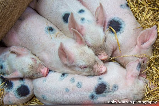 Piglets Adventure Farm
