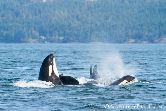 Sooke, Canada: Southern Resident Killer Whales celebrating a good day of foraging.