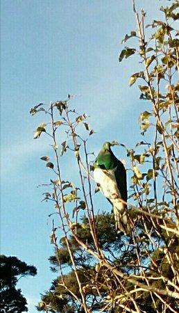 Helensville, Nueva Zelanda: Kereru (N.Z. native pigeon) seen by the walkway