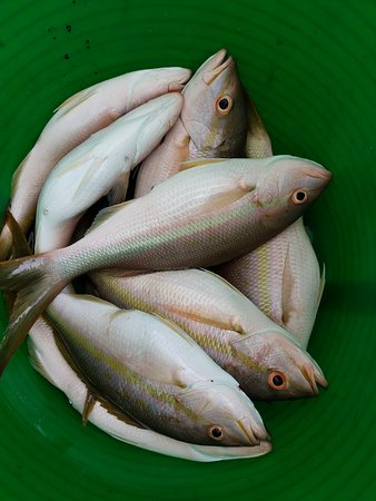 Yellowtail Snapper - Picture of Fish Key West Florida