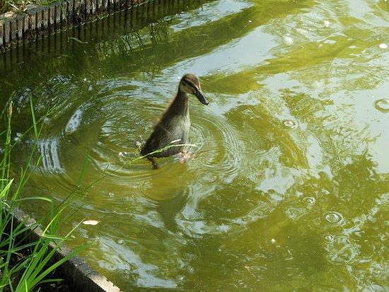 Karpers In Tuin : Naast karpers ook veel eenden in de tuin picture of japanese
