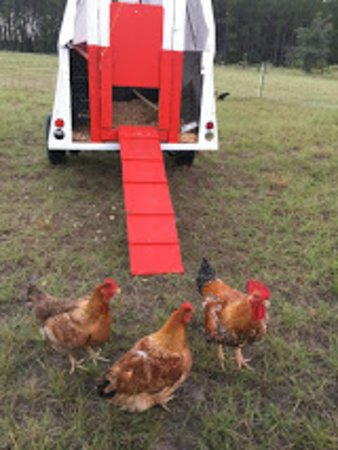 Our egg chickens move around to help us prepare ground for gardening.