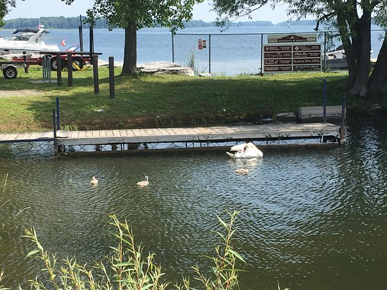 Harbourview Marina & Cafe: Swan & Babies at the Harbourview Cafe
