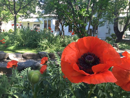 Weaverville, Kalifornia: In late May or early June our gardens come alive with huge 100 yr old oriental poppies.