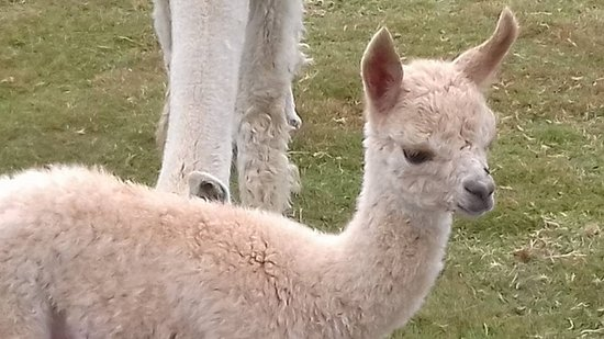 Alpaca Annie: Meeting the one day old baby.