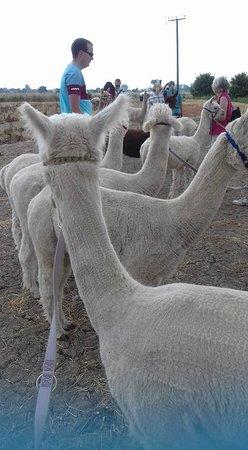 Alpaca Annie: Group photo for carrot break