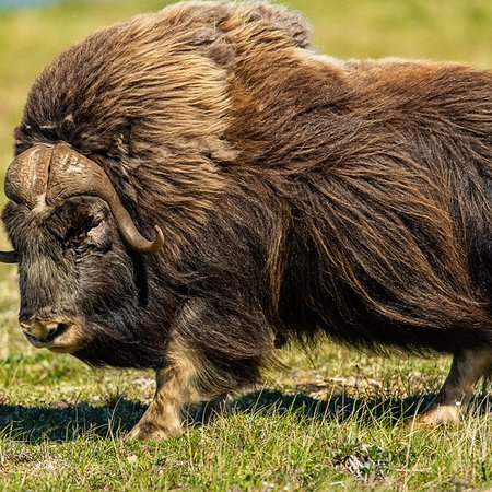 Musk ox just outside of Teller