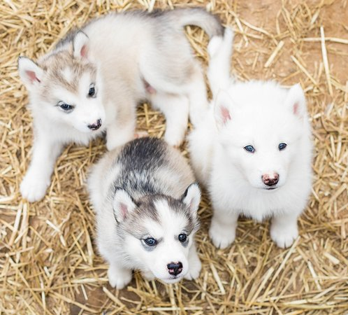 Alaskan Malamute Puppies Picture Of