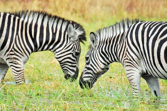 Kuti Wildlife Reserve: Zebras