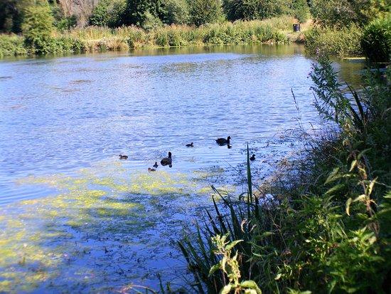 Bulwell Hall Park: Wildlife on the ponds.