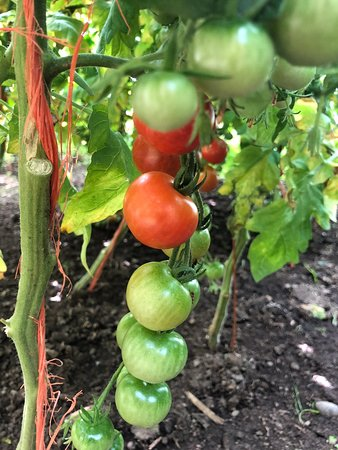 Gattonside, UK: Tomatoes from Philiphaugh, Selkirk nearly ready to pick