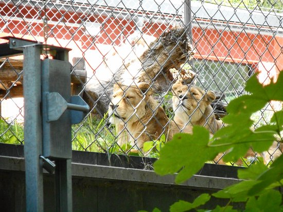 Safari Park Dvur Kralove: kočičky
