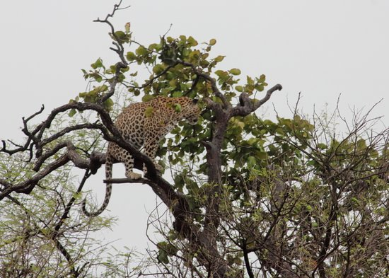 Devalia Safari Park: leopard on a tree