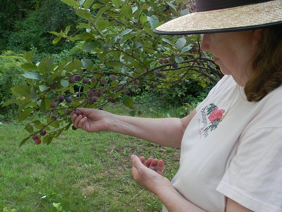 West Chatham, MA: Picking beach plums.