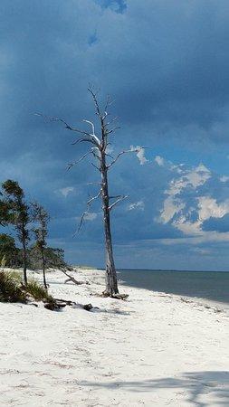Alligator Point, FL: Trees on the beach - Bald Pt St Park
