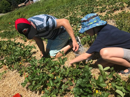 Windermere, Canada : Strawberry Picking