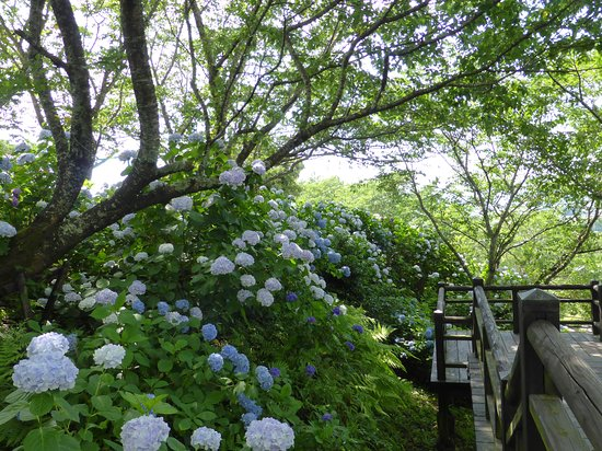 Miyakonojo, Japan: Masses of hydrangeas