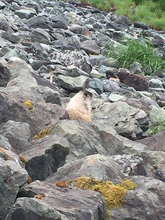 Custom Juneau Tours: A coastal Marmot.