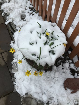 Chinnor, UK: Mid-March and those poor daffodils must've wondered why they'd bothered.