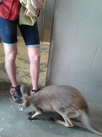 Zoo de Falardeau: Bébé kangourou de la pouponnière
