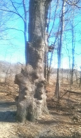 Chesterton, IN: An old tree on Trail 10