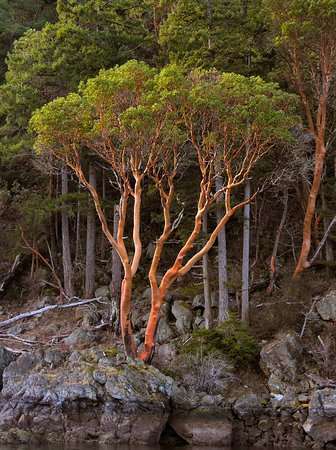 EcoCruising: The majectic Arbutus trees on our Gulf Islands