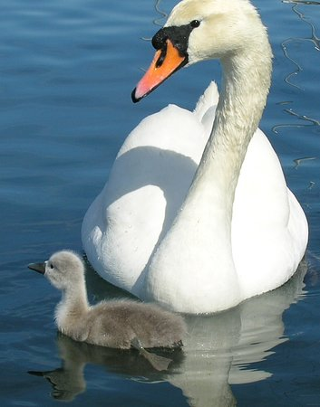 EcoCruising: Mute swan and her signet